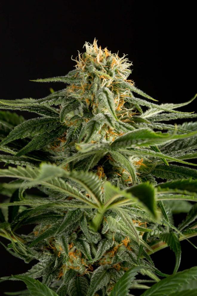 California-Hash-Plant