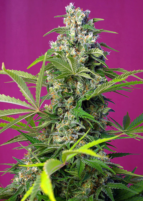 gorilla girl sweet seeds