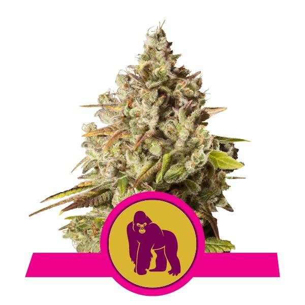 royal-gorilla